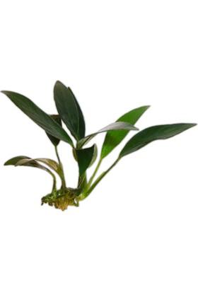 Anubias Afzeliianubias Afzelii Akvaryum Bitkisi 3-4 Yapraklı