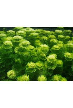 Limnophila Sessilifloralimnophila Sessiliflora - 1 Bağ Akvaryum Bitkisi - 5 Kök