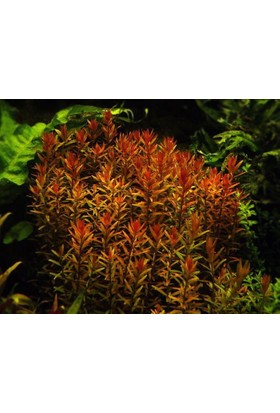 Rotala Rotundifolia Redrotala Rotundifolia Red 1 Bağ Akvaryum Bitkisi - 5 Kök
