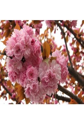E-Fidancim Tüplü Katmerli Çiçekli Süs Kirazı Fidanı