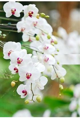Tohum Diyarı Beyaz Kırmızı Noktalı Orkide Tohumu 10+ Tohum