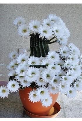 Tohum Diyarı Beyaz Orkide Çiçekli Kaktüs Tohumu 5+