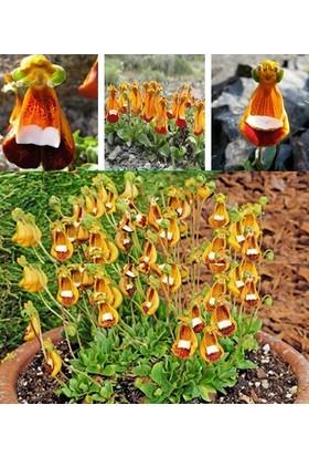 Tohum Diyarı Çanta Çiçeği (Calceolaria) Nadir Orkide Tohum 10 Tohum