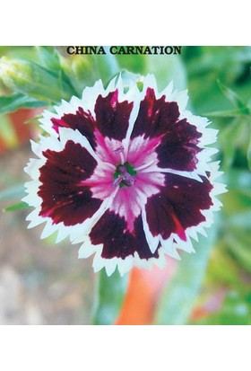 Tohum Diyarı Çin Karanfili Çiçeği Tohumu 10+ Tohum