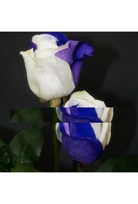 Tohum Diyarı Çok Özel Beyaz Mavi Gül Tohumu 10+ Tohum