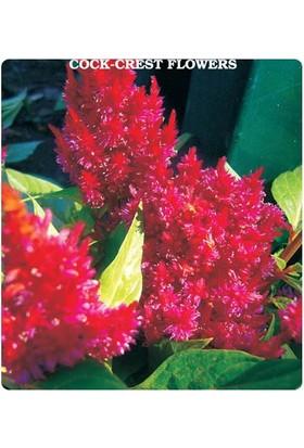 Tohum Diyarı Horoz İbiği Çiçeği Tohumu 10+ Tohum