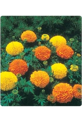 Tohum Diyarı Kadife Çiçeği Tohumu 10+ Tohum
