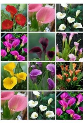 Tohum Diyarı Karışık Kılıç Zambak Çiçeği Tohumu 5+ Tohum