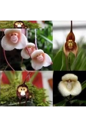 Tohum Diyarı Karışık Maymun Yüzlü Orkide Tohumu 5+ Tohum