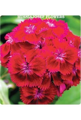 Tohum Diyarı Kırmızı Hüsnü Yusuf Çiçeği Tohumu 10+ Tohum