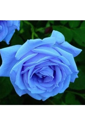 Tohum Diyarı Mavi Gül Tohumu 5 Tohum