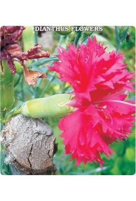 Tohum Diyarı Pembe Karanfil Çiçeği Tohumu 10+ Tohum