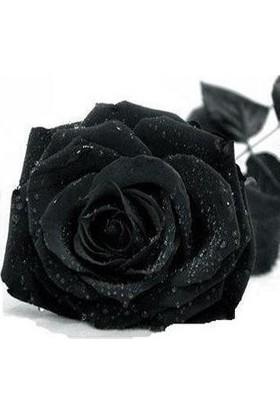 Tohum Diyarı Siyah Gül Tohumu 5 Tohum