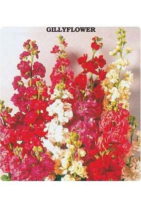 Tohum Diyarı Şebboy Çiçeği Tohumu 10+ Tohum