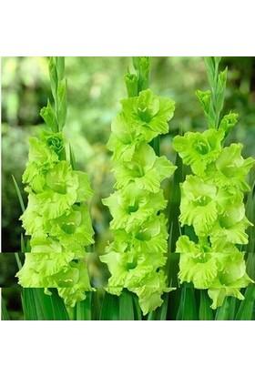 Tohum Diyarı Yeşil Kılıç Zambak Tohumu 5+ Tohum