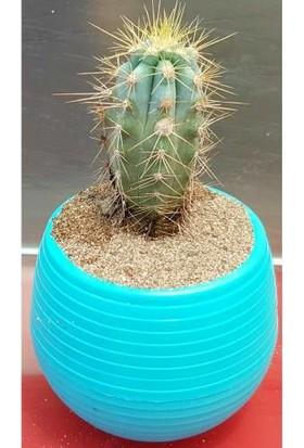 Kaktüs özel saksı midi , Haworthia, Sukulent, Scculent, terrarium, etli bitkiler