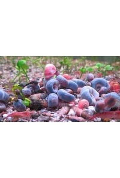 Tohum Diyarı Karışık Ramshorn Salyangoz 10 Adet
