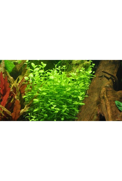Akvaryumbitkileri Lindernia Rotundifolia 5 Kök Akvaryum Bitkisi