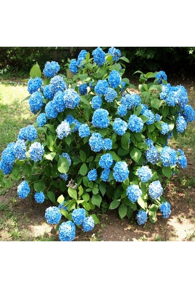 E-Fidancim Tüplü Mavi Ortanca Çiçeği Fidanı