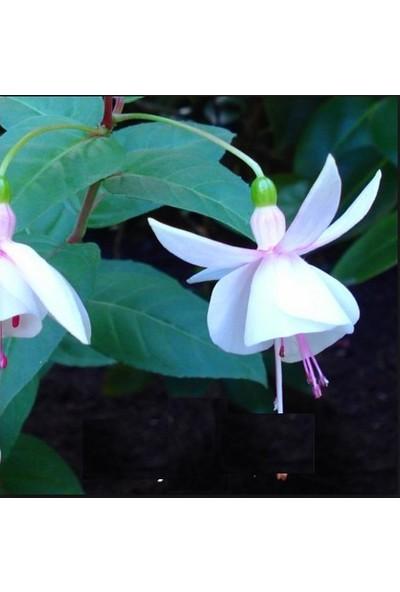 Tohum Diyarı Beyaz Fuşya Fener Çiçeği Tohumu 10+ Tohum