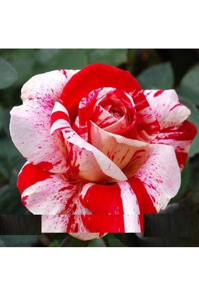 Tohum Diyarı Beyaz Gül Kırmızı Noktalı 5+ Tohum