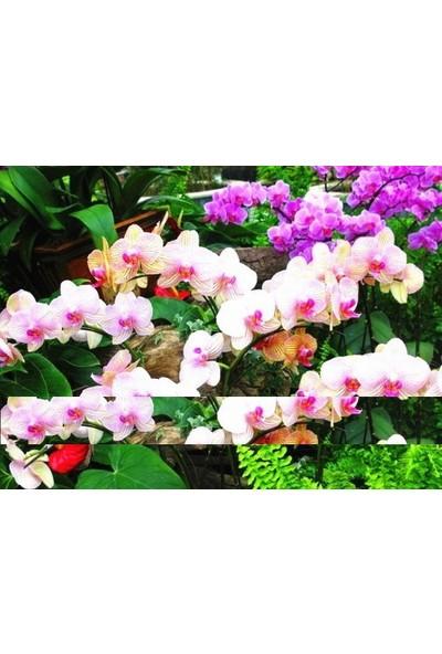 Tohum Diyarı Beyaz Pembe Orkide Tohumu 10+ Tohum
