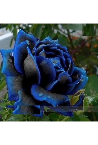 Tohum Diyarı Çok Özel 10 Adet Dev Mavi Siyah Gül Tohumu Hedye