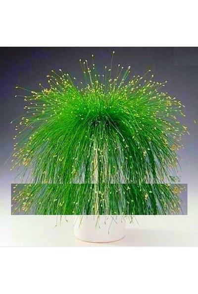 Tohum Diyarı Fiber Optik Bonsai Yeşil Çim Tohumu 10+ Tohum