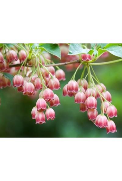 Tohum Diyarı Kırmızı Beyaz Çan Orkide Çiçek Tohumu 5+ Tohum