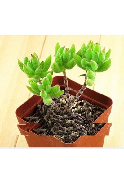 Tohum Diyarı Nadir Yeşil Africa Kaktüsü Tohumu 10+ Tohum