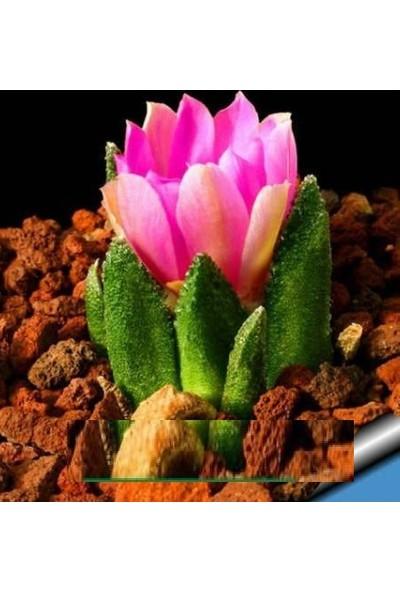 Tohum Diyarı Pembe Çiçekli Kaktüs Tohumu 10+ Tohum