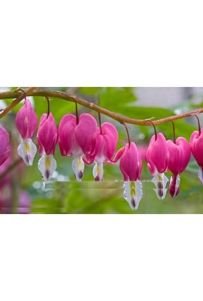 Tohum Diyarı Pembe Fuşya Fener Çiçeği Tohumu 10+ Tohum