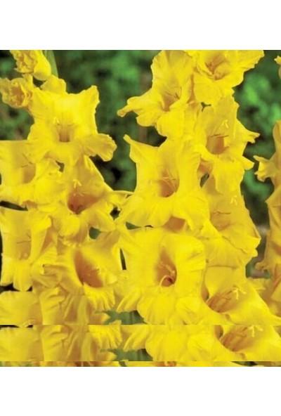 Tohum Diyarı Sarı Kılıç Zambak Tohumu 5+ Tohum