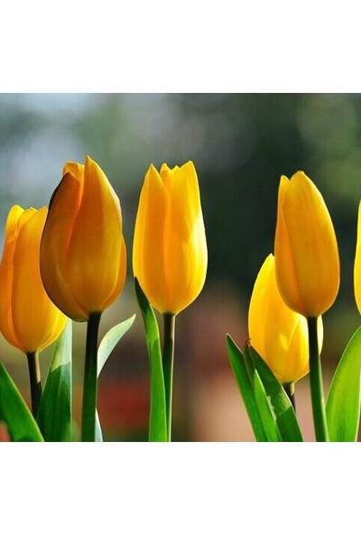Tohum Diyarı Sarı Lale Tohumu 10+ Tohum