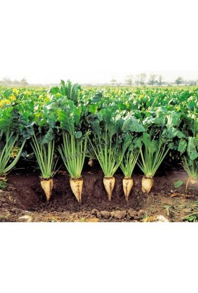 Tohum Diyarı Şeker Pancarı Tohumu 20+ Tohum
