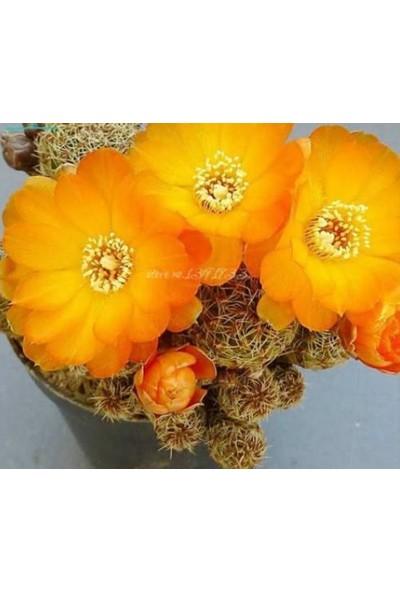 Tohum Diyarı Turuncu Çiçekli Kaktüs Tohumu 10+ Tohum