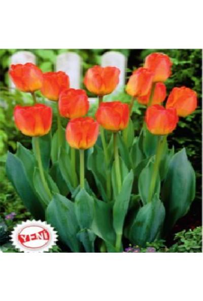 E-fidancim Orange Van Eijk Lale Soğanı (10 Adet)
