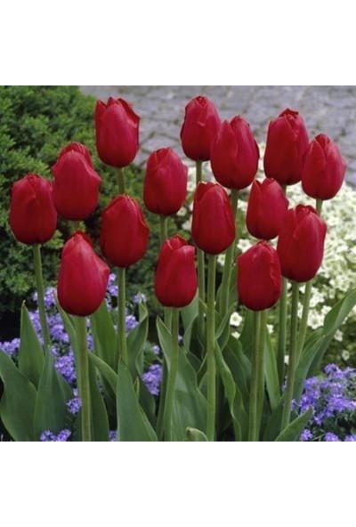 E-fidancim Kingsblood Koyu Kırmızı Lale Soğanı (5 adet)