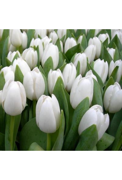 E-fidancim Beyaz Royal Virgin Lale Soğanı (5 adet)