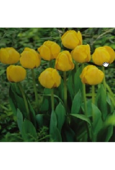 E-fidancim Golden Apeldoorn Sarı Lale Soğanı ( 5 soğan)