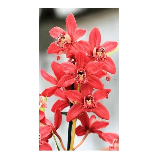 Tohum Diyarı Kırmızı Cymbidium Orkide Tohumu 10+ Tohum