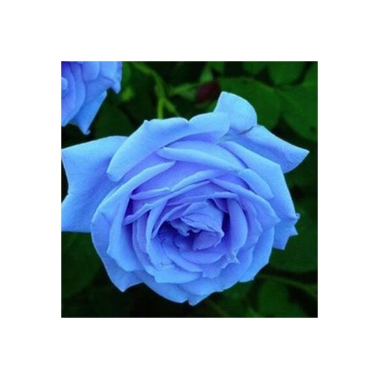 Tohum Diyarı Mavi Gül Tohumu 10 Tohum