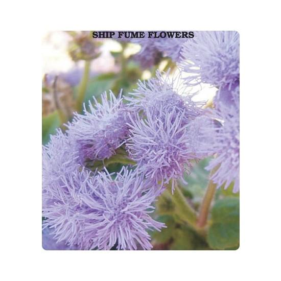 Tohum Diyarı Vapur Dumanı Çiçeği Tohumu 10+ Tohum
