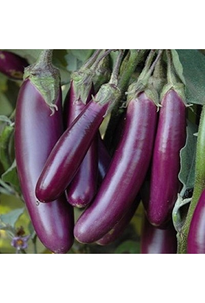 Agrobazaar Doğal Long Purple Patlıcan Tohumu 50'li