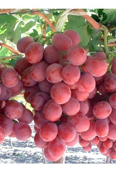 Fidan&peyzaj Red Globe Üzüm/asma Fidanı
