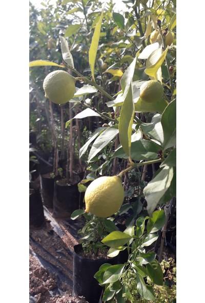 Emç Pazarlama Yediveren Limon Fidanı 2'li