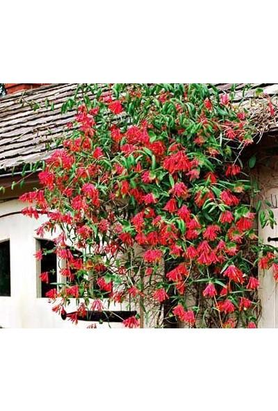 Fidan Avm Hanımeli Sarmaşığı Kırmızı Çiçekli Kokulu Dev Boy (Lonicera Caprifolium) 150+CM, Saksıda