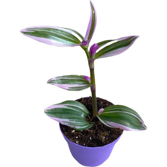 Bitki Fidanım Tradescantia Nanouk Pembe Telgraf Çiçeği