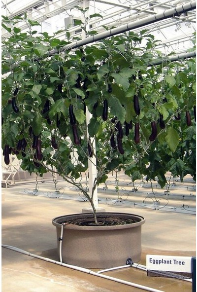 Hb Botanic Ithal Çin Patlıcan Ağacı Tohumu 5'li Tohum