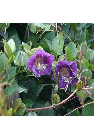Fide Vadisi Çan Sarmaşığı Çiçek Tohumu 1 Paket